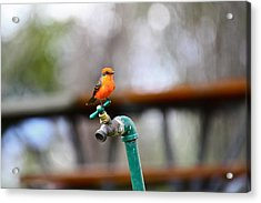 Vermilion Flycatcher Two Acrylic Print