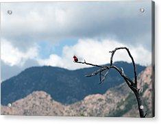 Vermillion Flycatcher Male Acrylic Print