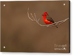 Vermillion Flycatcher On Early Spring Perch Acrylic Print by Max Allen