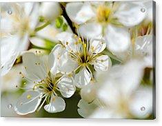 Vermont Apple Blossoms Acrylic Print