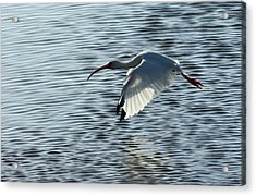 Ibis Fly By Acrylic Print