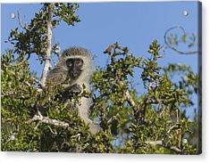 Vervet Monkey Perched In A Treetop Acrylic Print