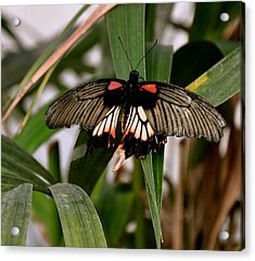 Vibrant Butterfly Acrylic Print