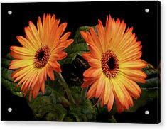 Acrylic Print featuring the photograph Vibrant Gerbera Daisies by Terence Davis