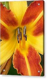 Vibrant Lilly Acrylic Print by Tiffany Erdman