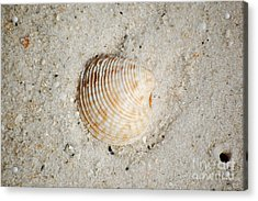 Vibrant Orange Ribbed Sea Shell In Fine Wet Sand Macro Acrylic Print by Shawn O'Brien