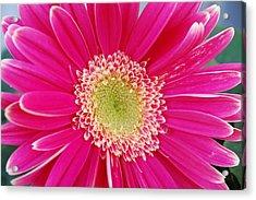 Vibrant Pink Gerber Daisy Acrylic Print by Amy Fose