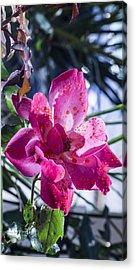 Vibrant Pink Rose Acrylic Print
