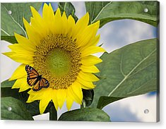 Viceroy And Sunflower Acrylic Print