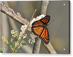 Viceroy Butterfly Acrylic Print