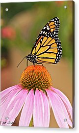 Monarch Butterfly On A Purple Coneflower Acrylic Print