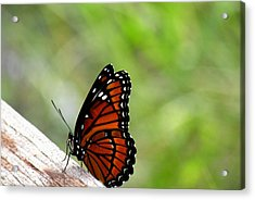 Acrylic Print featuring the photograph Viceroy Butterfly Side View by Rosalie Scanlon