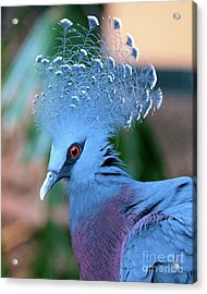 Victoria Crowned Pigeon Acrylic Print