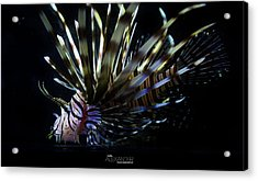 Vieques Lionfish Profile #1 Acrylic Print by Karl Alexander
