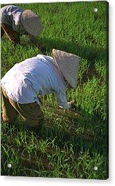 Vietnam Paddy Fields Acrylic Print