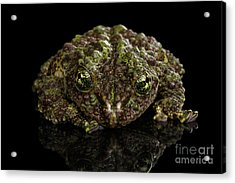 Vietnamese Mossy Frog, Theloderma Corticale Or Tonkin Bug-eyed Frog, Isolated On Black Background Acrylic Print
