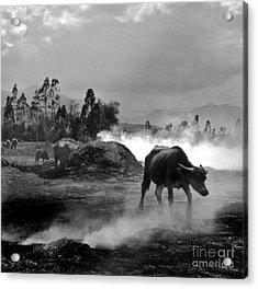 Vietnamese Water Buffalo  Acrylic Print