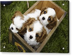 View From Above Of Three Puppies Acrylic Print by Gillham Studios