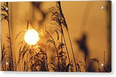 View Of Sun Setting Behind Long Grass C Acrylic Print