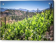 View Of The Vineyard. Winery In Chile, Casablanca Valley Acrylic Print by Anna Soelberg