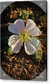 Acrylic Print featuring the photograph Vignette Evening Primrose by Robert Bales
