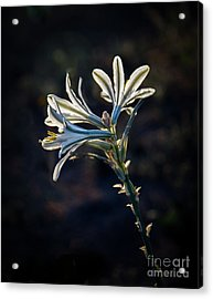 Acrylic Print featuring the photograph Vignetted Ajo Lily by Robert Bales