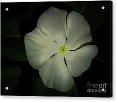 Vinca Bloom Night Glow Acrylic Print
