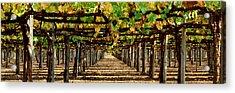 Vineyard Ca Acrylic Print by Panoramic Images