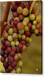 Vineyard Grapes Acrylic Print by Sonja Anderson