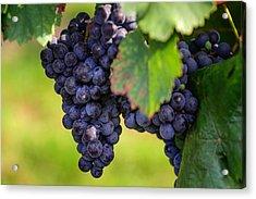 Vineyard Harvest Time Acrylic Print by Jenny Rainbow