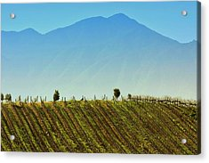 Vineyard In Tapihue Acrylic Print by Fernando Lopez Lago