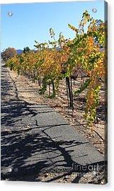 Vineyard Shadows Acrylic Print