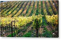 Vineyards In Healdsburg Acrylic Print by Charlene Mitchell