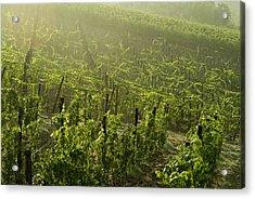 Vineyards Shrouded In Fog Acrylic Print by Todd Gipstein