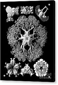 Vintage 1904 Ophiodeax Octopus And Starfish Biological Drawing Acrylic Print by Tina Lavoie