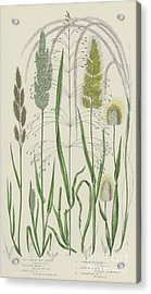 Vintage Botanical Print Of Grass Varieties Acrylic Print