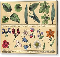 Vintage Botanical Print Showing Variety Of Leaves And Flowers Acrylic Print by English School