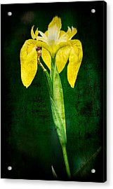 Vintage Canna Lily Acrylic Print by Rich Leighton