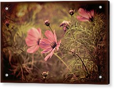 Acrylic Print featuring the photograph Vintage Cosmos by Douglas MooreZart