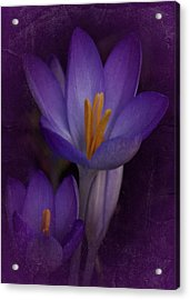 Acrylic Print featuring the photograph Vintage Crocus 2017 by Richard Cummings