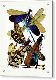 Vintage Damselflies, Dragonflies Etymology Illustration Acrylic Print by Tina Lavoie