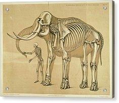 Vintage Elephant And Human Skeleton Illustration Acrylic Print