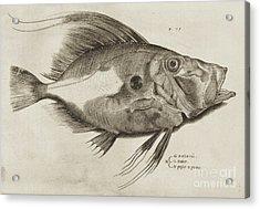 Vintage Fish Print Acrylic Print by Antonio Lafreri