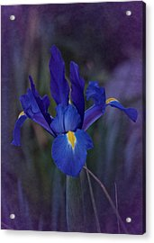 Vintage Blue Magic Iris Acrylic Print by Richard Cummings