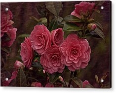 Vintage March 2017 Camillias Acrylic Print by Richard Cummings