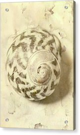 Vintage Seashell Still Life Acrylic Print