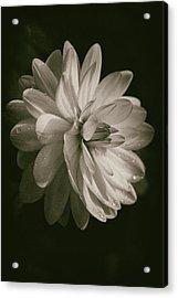 Vintage Velvet  Acrylic Print