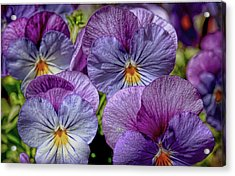 Acrylic Print featuring the photograph Viola by Bonnie Willis