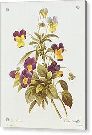 Viola Tricolour  Acrylic Print by Pierre Joseph Redoute
