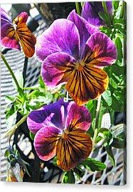 Violas Acrylic Print